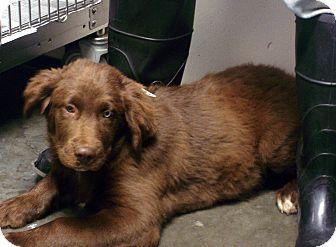 Newfoundland/Australian Shepherd Mix Puppy for adoption in Manassas, Virginia - Redford