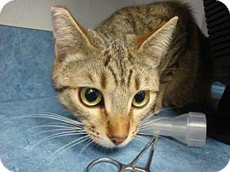 British Shorthair Cat for adoption in Gainesville, Florida - Clementine
