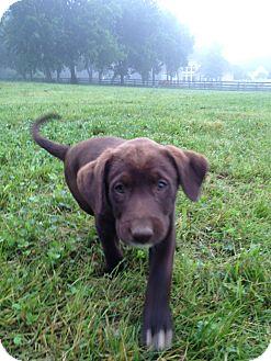 Labrador Retriever Mix Puppy for adoption in Russellville, Kentucky - Wednesday