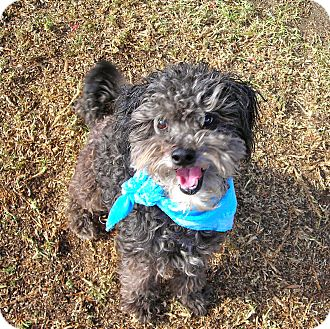 Miniature Poodle Mix Dog for adoption in El Cajon, California - Curly