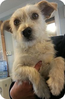 Terrier (Unknown Type, Small)/Dachshund Mix Puppy for adoption in Pilot Point, Texas - JACE