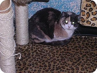 Domestic Shorthair Cat for adoption in Sherman Oaks, California - Stella - sponsor only