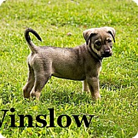 Adopt A Pet :: Winslow - Knoxville, TN