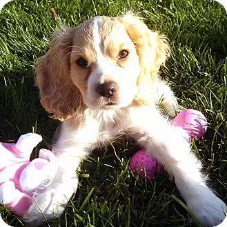 Cocker Spaniel/Cavalier King Charles Spaniel Mix Dog for adoption in Santa Barbara, California - Peach