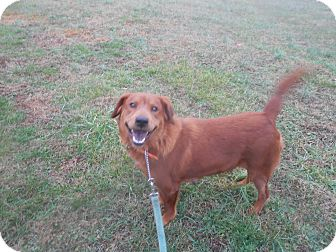Spaniel (Unknown Type)/Chow Chow Mix Dog for adoption in MC KENZIE, Tennessee - REBA