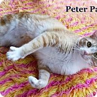 Adopt A Pet :: Peter Pan - Bentonville, AR