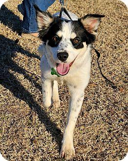 Border Collie Mix Dog for adoption in Allen, Texas - Piper