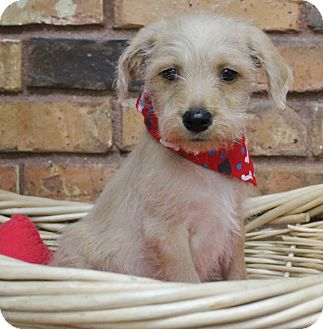 Maltese/Terrier (Unknown Type, Medium) Mix Puppy for adoption in Benbrook, Texas - Frisco