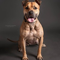 Shar Pei/Shepherd (Unknown Type) Mix Dog for adoption in bridgeport, Connecticut - Hercules