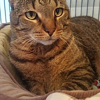 Domestic Shorthair Cat for adoption in Hanna City, Illinois - Jim