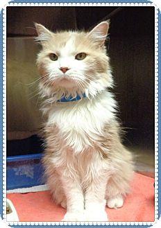 Domestic Longhair Cat for adoption in Marietta, Georgia - TAZ
