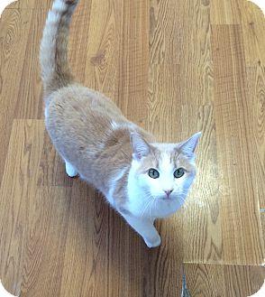 Domestic Shorthair Cat for adoption in Greensburg, Pennsylvania - Peaches