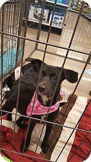 Labrador Retriever/Terrier (Unknown Type, Small) Mix Puppy for adoption in Mesa, Arizona - Rhea