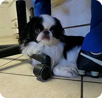 Japanese Chin Dog for adoption in Metairie, Louisiana - Yoshi