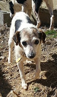 Jack Russell Terrier Mix Dog for adoption in London, Kentucky - Dottie