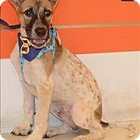 Adopt A Pet :: Frisco - Taiwan Pup - Encino, CA