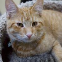 Adopt A Pet :: Cat Damon - Merrill, WI