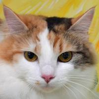 Domestic Longhair/Domestic Shorthair Mix Cat for adoption in Englewood, Florida - Scarlett