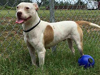 Boxer Mix Dog for adoption in Augusta, Georgia - HARRIET