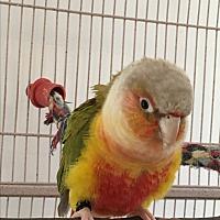 Adopt A Pet :: Scooter - Punta Gorda, FL