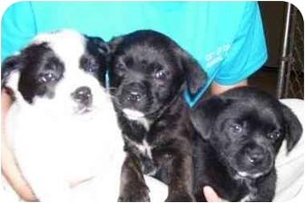 Boston Terrier Mix Puppy for adoption in Osceola, Arkansas - Oreo, bella and kemo