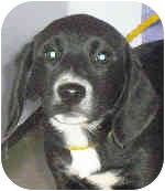 Beagle/Hound (Unknown Type) Mix Dog for adoption in Murphysboro, Illinois - Sugarplum