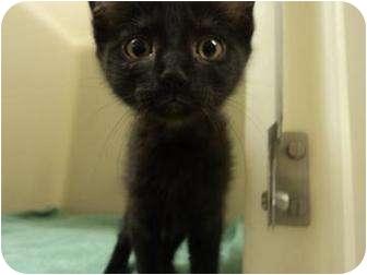 Domestic Shorthair Kitten for adoption in North Charleston, South Carolina - Misty