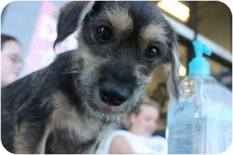 Jack Russell Terrier/Terrier (Unknown Type, Small) Mix Puppy for adoption in Arlington, Texas - Colby