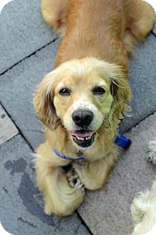 Cocker Spaniel Dog for adoption in New York, New York - Florence