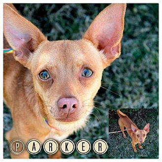 Chihuahua Mix Dog for adoption in Garden City, Michigan - Parker