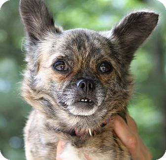 Chihuahua Mix Dog for adoption in Muskegon, Michigan - Tigerlily