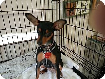 Miniature Pinscher Mix Dog for adoption in Winston-Salem, North Carolina - Bri'