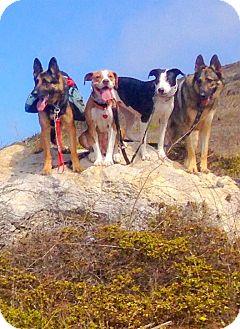 American Bulldog/Catahoula Leopard Dog Mix Dog for adoption in Sacramento, California - Taylor needs foster or home AS