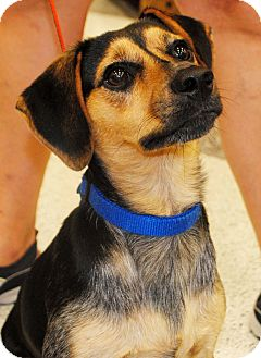 Beagle Mix Dog for adoption in Humble, Texas - Pepper