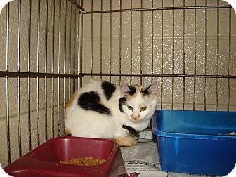 Domestic Shorthair Kitten for adoption in Henderson, North Carolina - Felicia