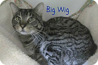 Domestic Shorthair Cat for adoption in Menomonie, Wisconsin - Big Wig