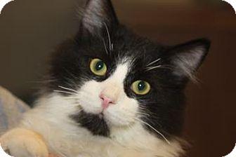 Domestic Mediumhair Cat for adoption in Mt. Pleasant, Michigan - Harley