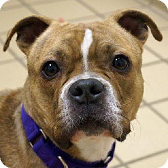 Bulldog Mix Dog for adoption in Eatontown, New Jersey - Pumpkin
