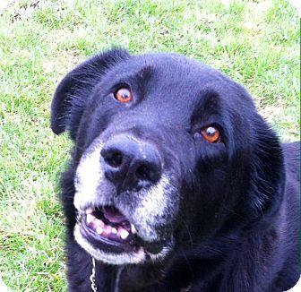 Labrador Retriever Mix Dog for adoption in Port Hope, Ontario - Knight