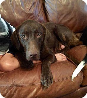 Labrador Retriever Mix Dog for adoption in Huntsville, Alabama - Coco