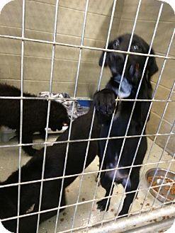 Labrador Retriever/Cattle Dog Mix Puppy for adoption in Detroit Lakes, Minnesota - Aruba