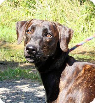 Mountain Cur Dog for adoption in Richmond, Virginia - Kate