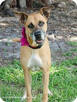 Boxer Dog for adoption in Maquoketa, Iowa - Kloe