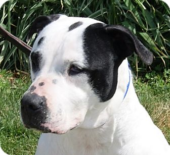 Dalmatian/Pit Bull Terrier Mix Dog for adoption in Monroe, Michigan - Peppermint
