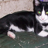 Adopt A Pet :: Tux - Morriston, FL