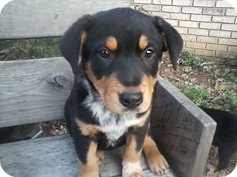 Blue Heeler/Australian Shepherd Mix Puppy for adoption in Paris, Illinois - Carmen