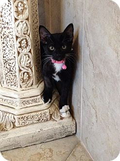 Domestic Shorthair Kitten for adoption in San Diego, California - Inky
