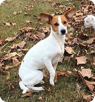 Jack Russell Terrier/Rat Terrier Mix Dog for adoption in North Brunswick, New Jersey - Lacey
