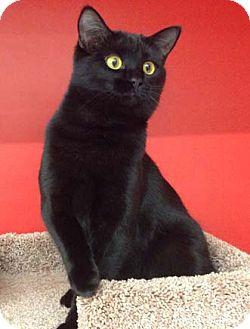 Domestic Shorthair Kitten for adoption in Merrifield, Virginia - Jack