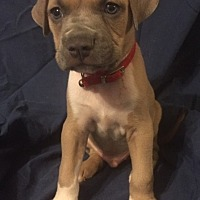 Adopt A Pet :: Apollo - Rochester, MI